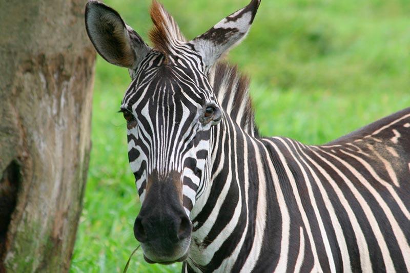 Zebra Lua no Safári Portobello
